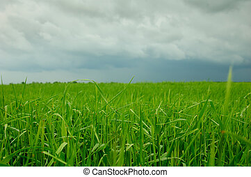 Wheat before a thunder-storm