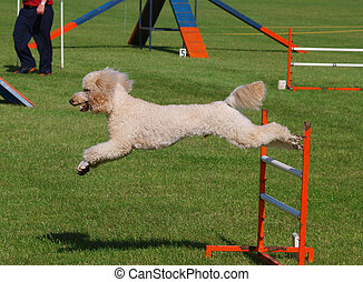 Jumped Clear - Apricot Poodle clearing an agility jump...
