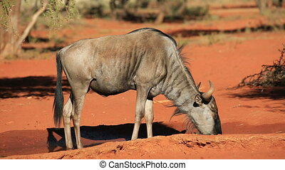 Blue wildebeest drinking - A blue wildebeest Connochaetes...