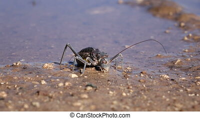 Armoured ground cricket - An African Armoured ground cricket...