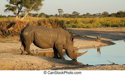 White rhinoceros drinking - White (square-lipped) rhinoceros...