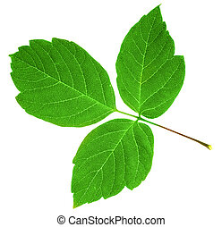 green leaf - green maple  leaf isolated over white