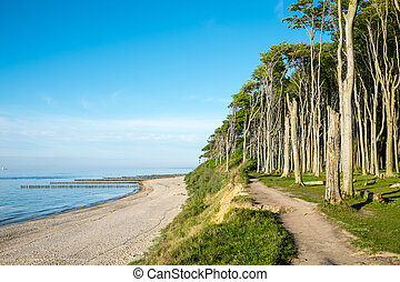 Beech tree forest at the Baltic Sea