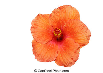 Orange hibiscus isolated on the white backgroun