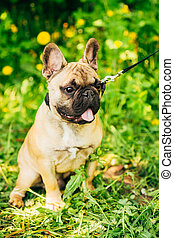 Dog French Bulldog - Pet Dog French Bulldog on the grass