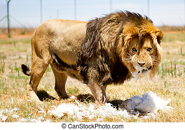 Male adult lion in a camp with green grass