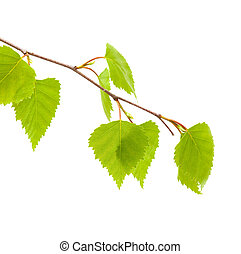 silver birch young leaves isolated