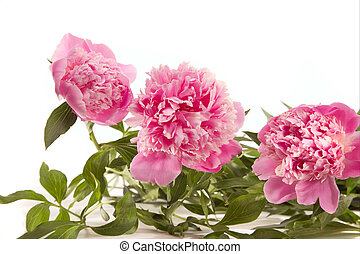 Peonies - Bouquet of pink peonies on a white background.