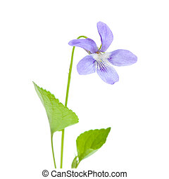 wild violet, dog violet, isolated on white