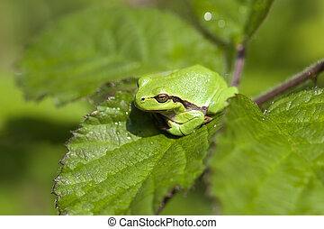 European tree frog - Hyla arborea when sunbathing