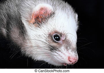 Close-up portrait of ferret