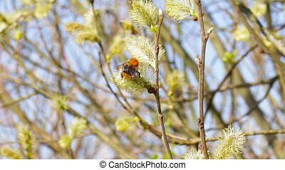 bumble bee on flowers willow, - furry bumble bee on flowers...