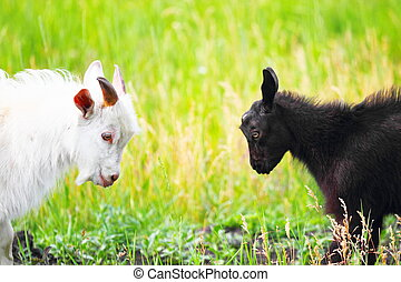 Adult and young goats fighting with their heads at an animal...