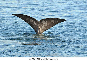 SAILING IN BLUE - A Southern Right whale showing its tail...