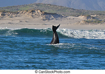 FLAPPIN in the SURF - A Southern Right whale showing its...