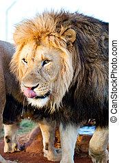 Male adult lion - Portrait of male adult lion