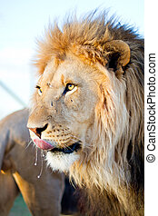 Male adult lion - Portrait of male adult lion