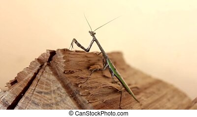 Praying Mantis - Praying Mantis looks at the camera and...