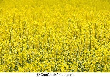 Rape seed field - Field of yellow blooming rape seed. Nature...