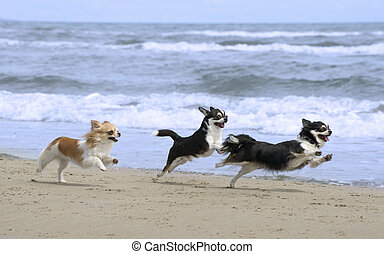 chihuahuas on the beach - three purebred chihuahuas running...