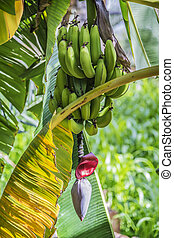 Banana blossom Misfah Abreyeen - Image of banana with...