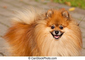 Orange Pom - Pomeranian often known as a Pom or Pom Pom is a...