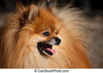 Orange Pom - Pomeranian (often known as a Pom or Pom Pom) is...