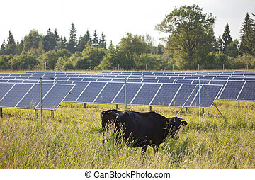 Modern vs traditional: black cow stands in front of solar...