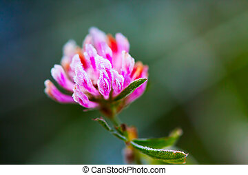 Red clover Trifolium pratense with hoarfrost in the late...