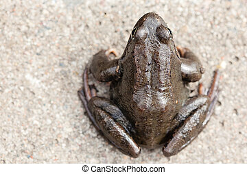 Common grass frog Rana temporaria in the spring