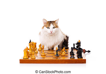 Longhaired housecat plays chess against the white background