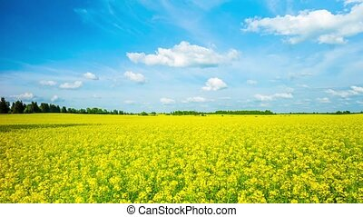 blooming canola field, panoramic time-lapse