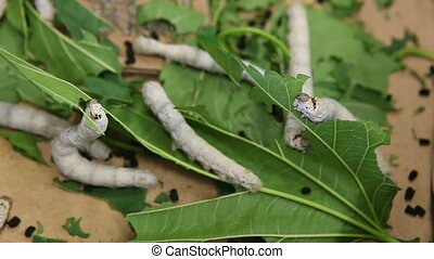 Silkworms Nibbling on Mulberry Leaves