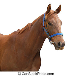 Chestnut Racehorse isolated with clipping path.