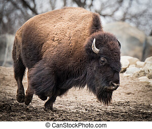 American Bison IV - Running American Bison