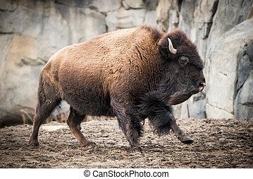 American Bison V - Running American Bison