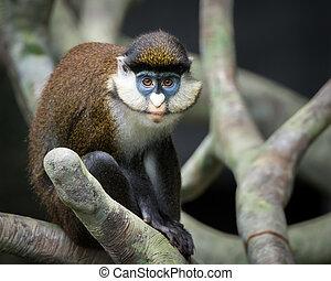 Schmidt's Spot-Nosed Guenon - Frontal Portrait of Schmidt's...