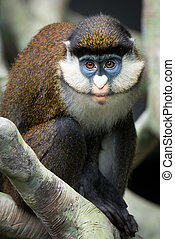 Schmidts Spot-Nosed Guenon II - Frontal Portrait of Schmidts...