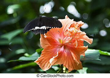 Black butterfly on the hibiscus