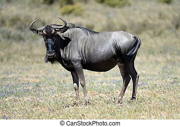 Wildebeest - An African Wildebeest in an open field