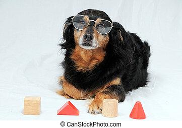 IQ, teste, cão