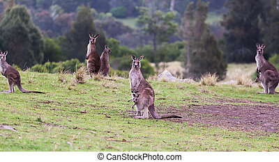Kangaroos at sunset Eurobodalla national park NSW Australia...