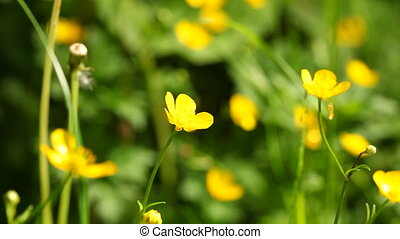 Yellow flowers anemone celandin