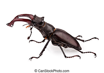 stag-beetle - close-up photo of big stag-beetle Lucanus...