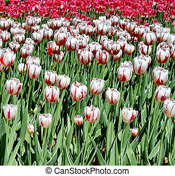 Tulips in the park - Multi coloured tulips on nature...