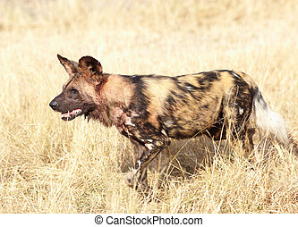African Wild Dog - African wild dogs, Lycaon Pictus, running...