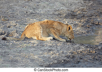 lion cub drinking - Young lion cub drinking water in the...