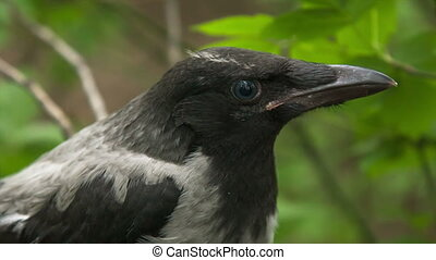 Crow fledgling