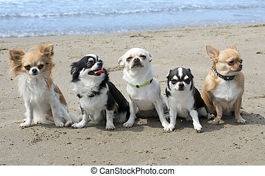 chihuahuas on the beach - five chihuahuas sitting together...