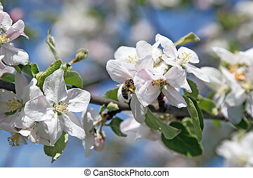 Apple garden in spring